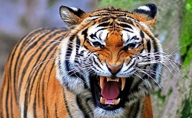 Image result for tigre