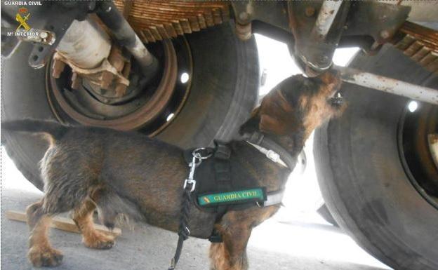 Tango, el perro teckel de la Guardia Civil que ha salvado a cerca de 2.000 personas